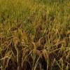 রায়পুরে আমন ধানের বাম্পার ফলন, কৃষকের মুখে হাসি